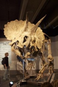 The new exhibit, the most completed Triceratops skeleton in the world!